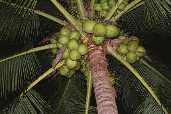 palmscoconuts